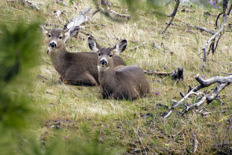 Stalking wild deer