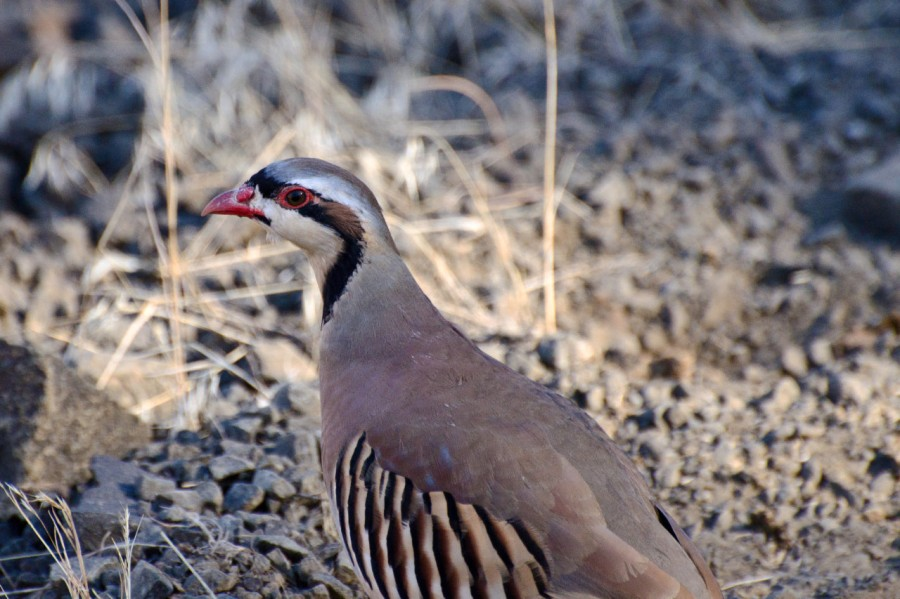 Painted Hills XI – Antelope, Deer &Chuckars