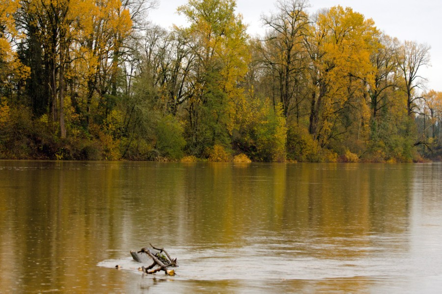 Cottonwood trees lining the Willamette River