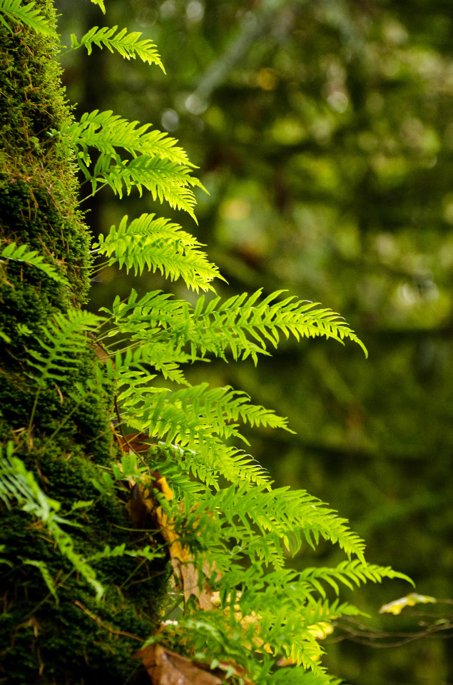 Licorice Ferns on a Maple tree