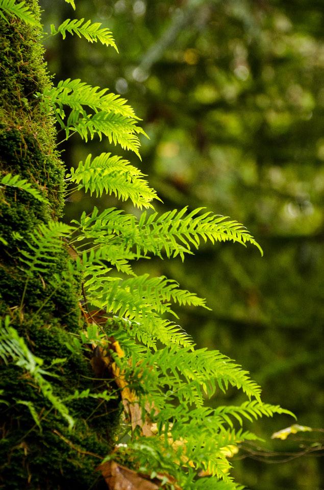 Licorice Ferns on a Maple tree