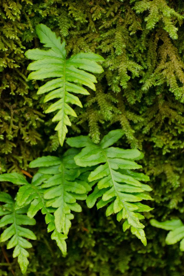 Licrorise Ferns