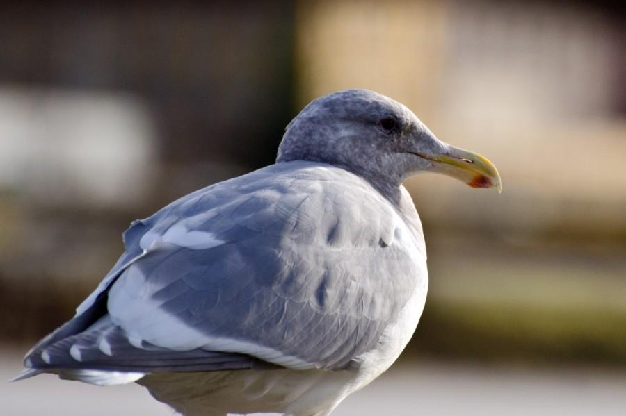 Pensive Seagull