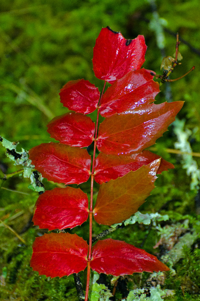 Autumn colors of Oregon Grape Leaves