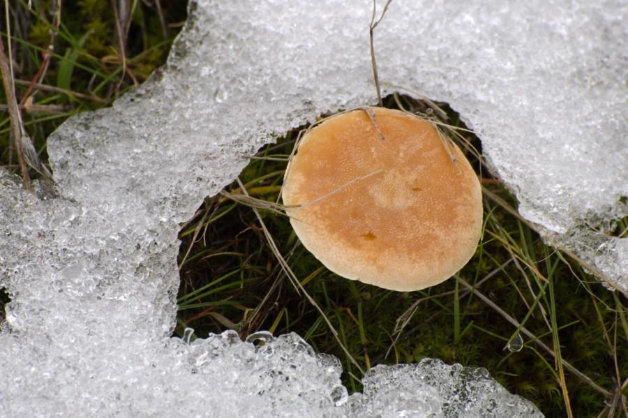 A hardy mushroom