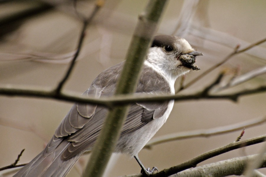 Gray Jay with a tasty morsel