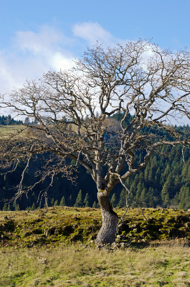 White Oak above the rimrock cliffs