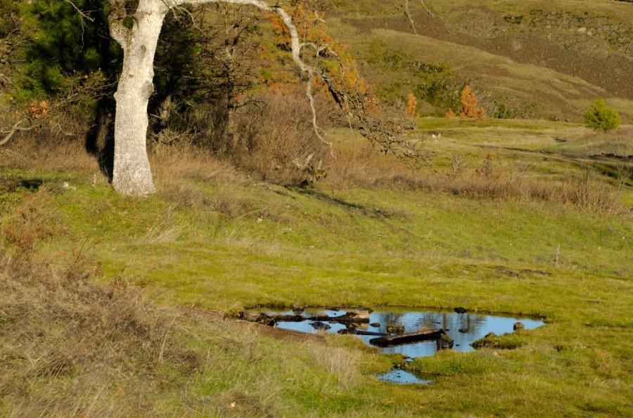 Little pond by a White Oak