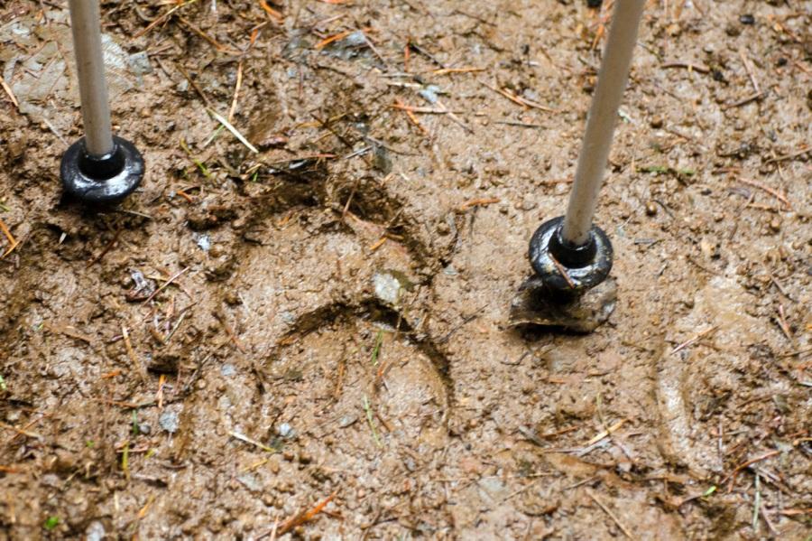 Recently-made Elk tracks between my hiking poles