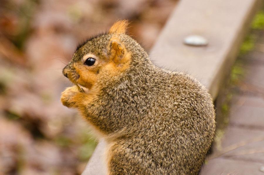 Fox Squirrel in TualatinHills
