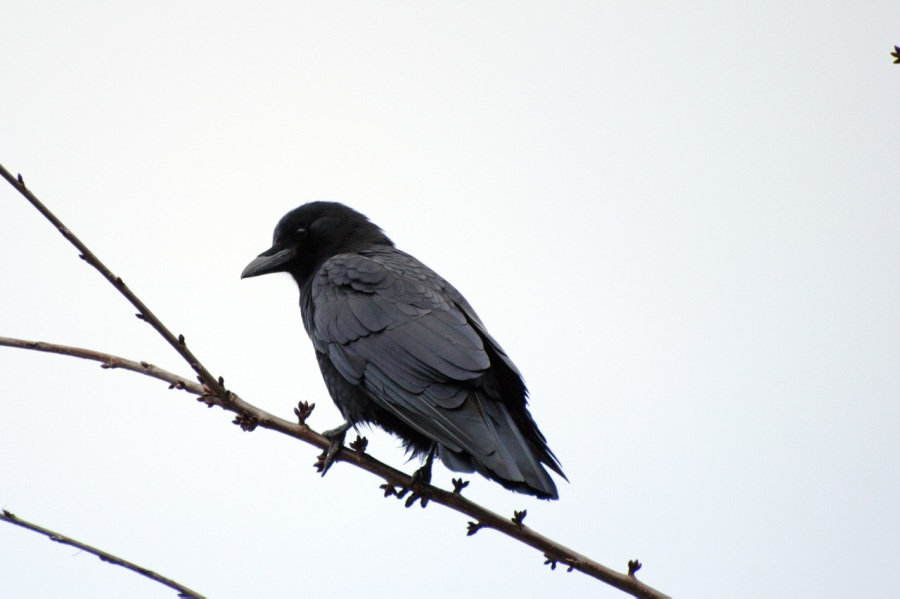 Crow (contrast, the bane of photographers)