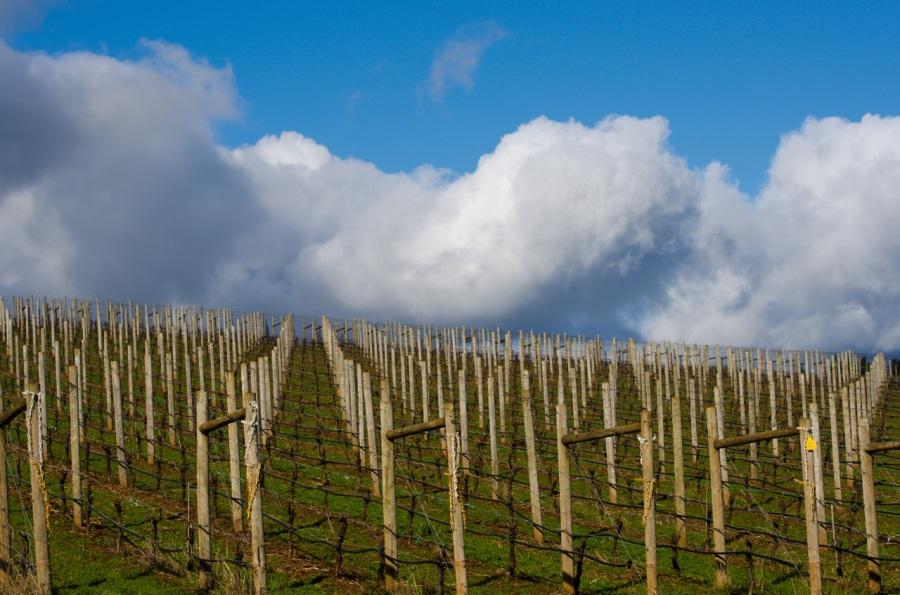 Erath Vineyard