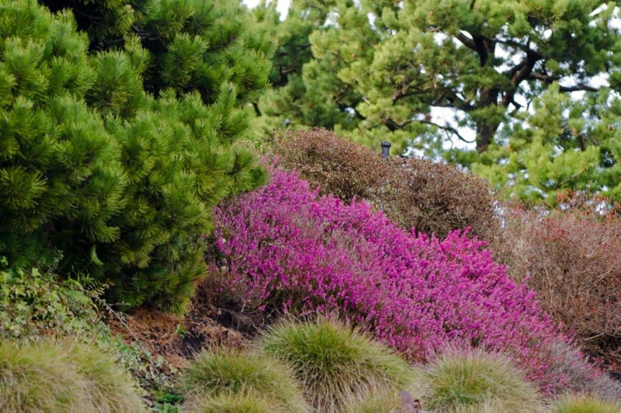 Pink Heather in bloom