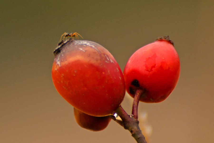 A bug on a Rosehip