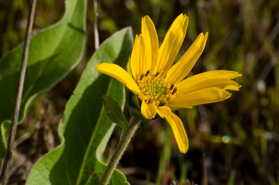 Arrow-leaf Balsamroot