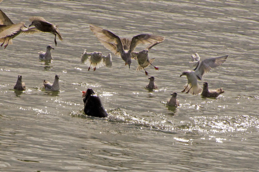 Sea Lion with Spring Chinook Salmon snack with all his closest friends