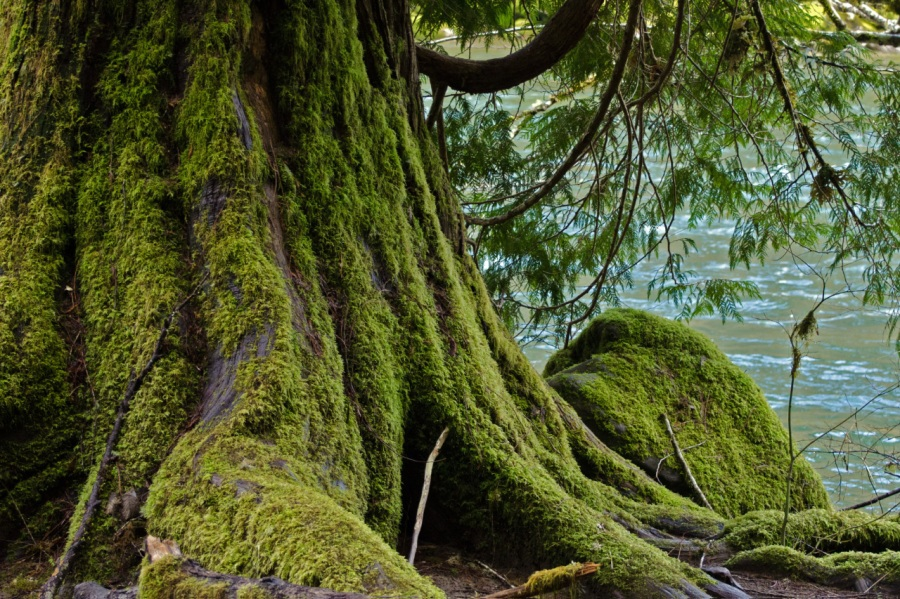 Old Cedar on the banks of the Clackamas RIver