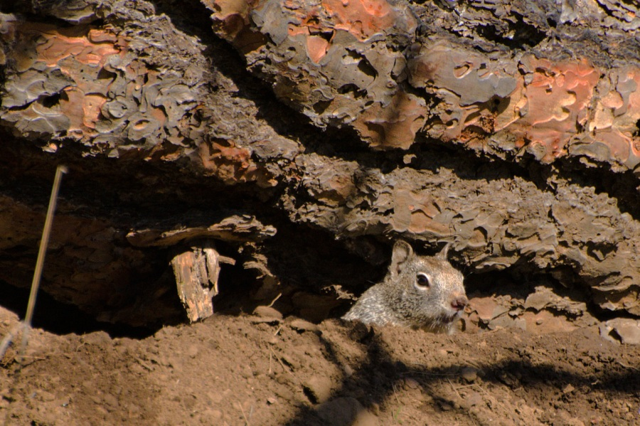 Attentive Ground Squirrel