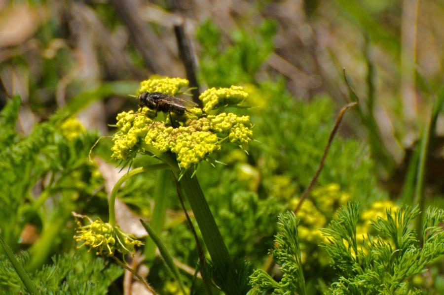 Fly enjoying a Desert Parsley