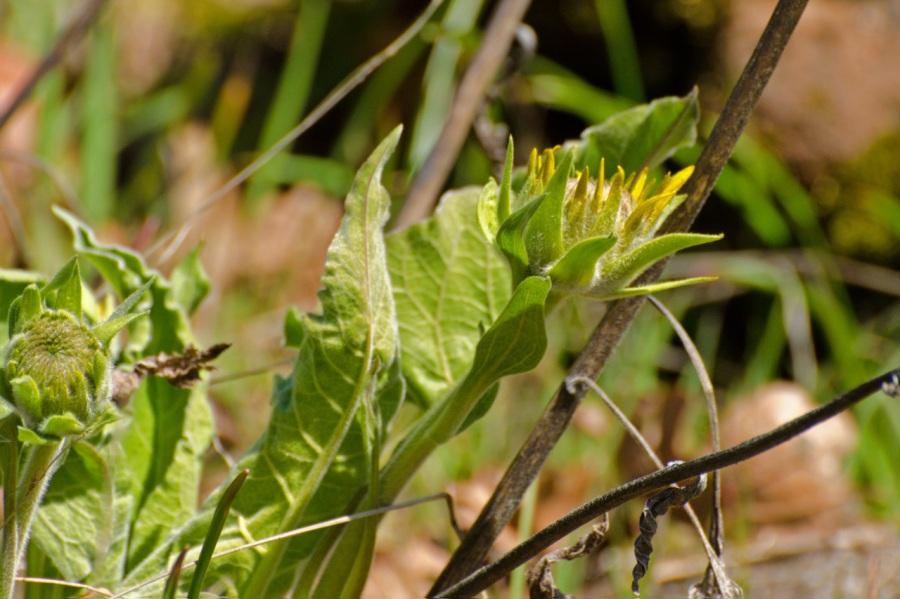 Balsamroot beginning to bloom