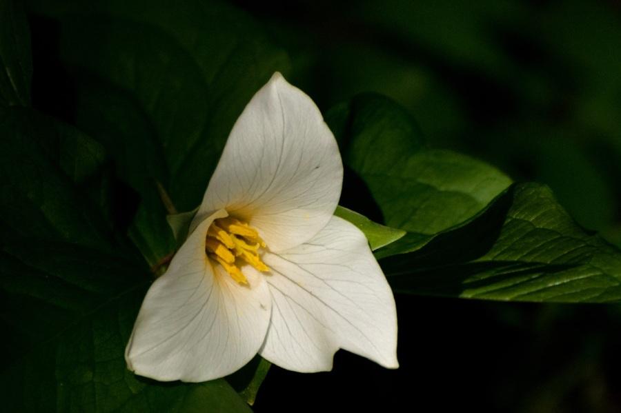 Tryon Trilliums