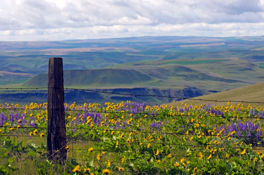 Golden Balsamroot and purple Lupine at The Dalles Ranch