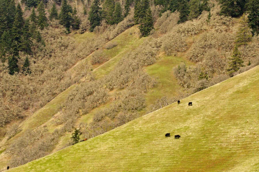 Cattle grazing on the steep slopes of Burdoin Mountain