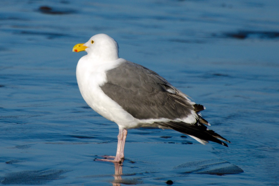 A contemplative Seagull