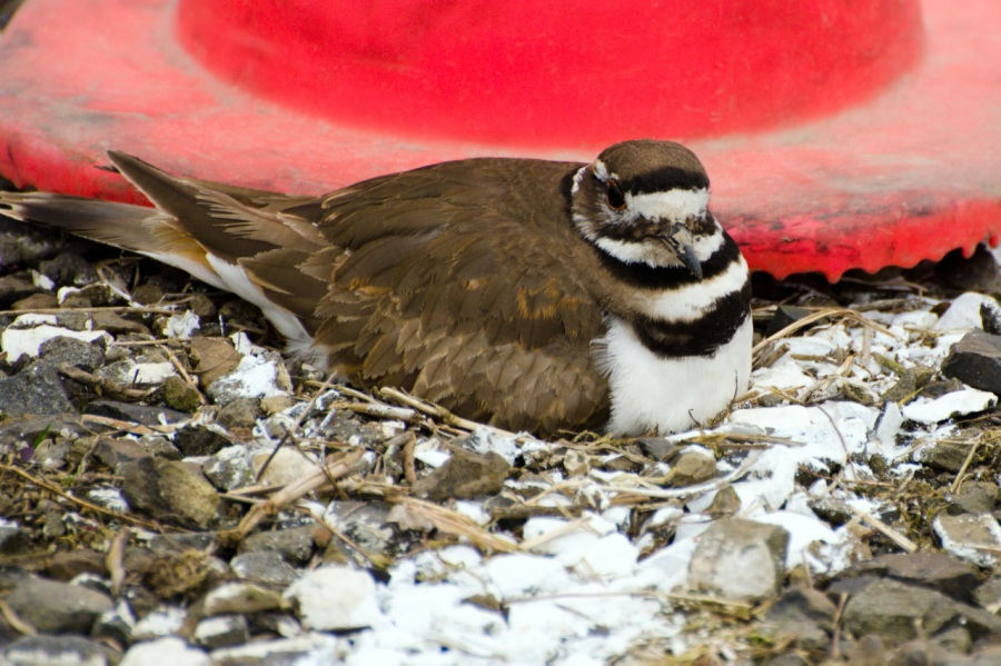 Killdeer on her nest in the parking lot