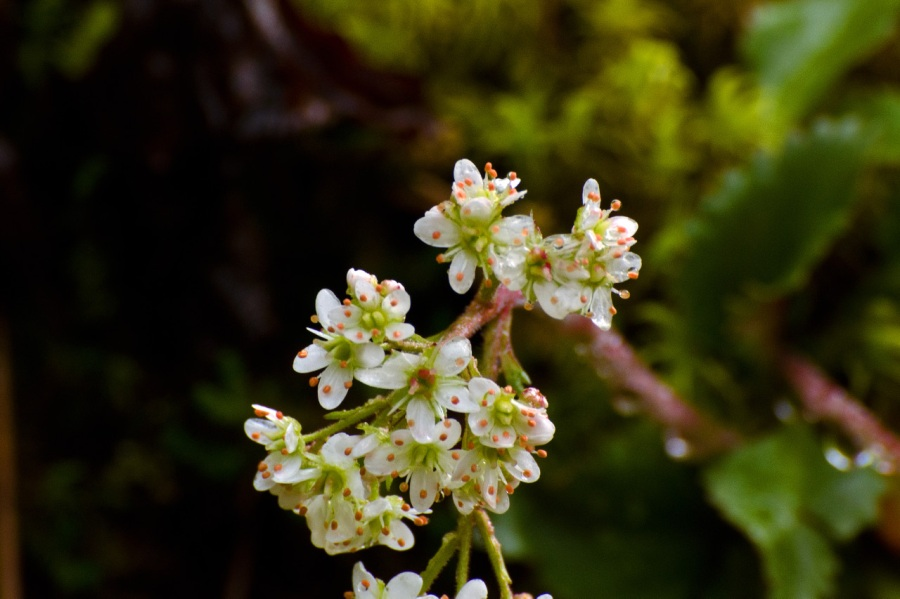 Colorful Saxifrage
