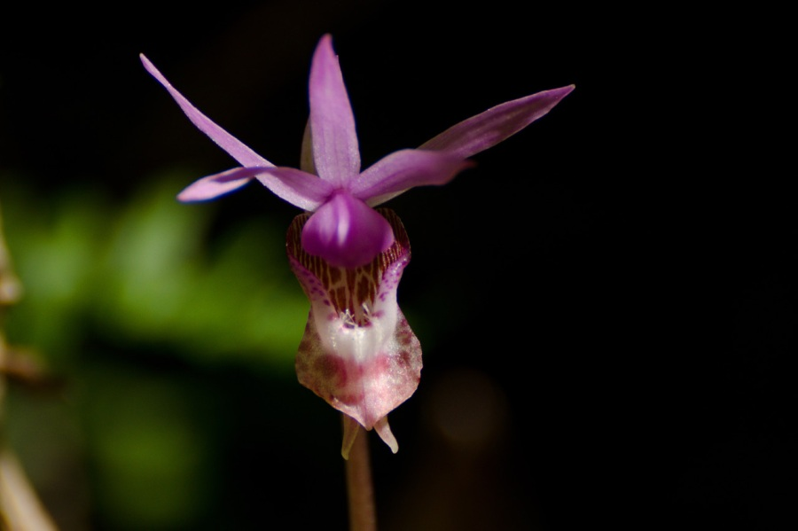 Calypso Orchid (Fairy Slipper)