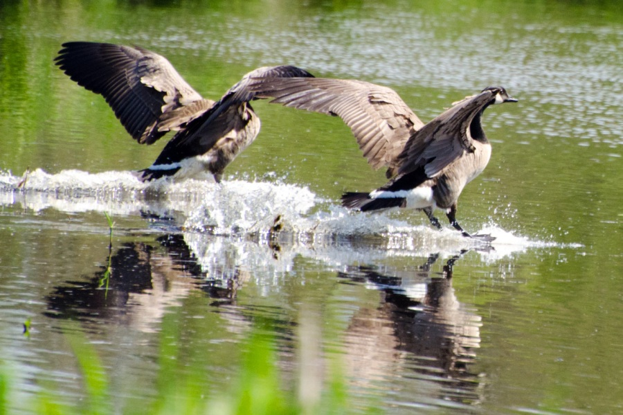 Canada Geese walking on the water
