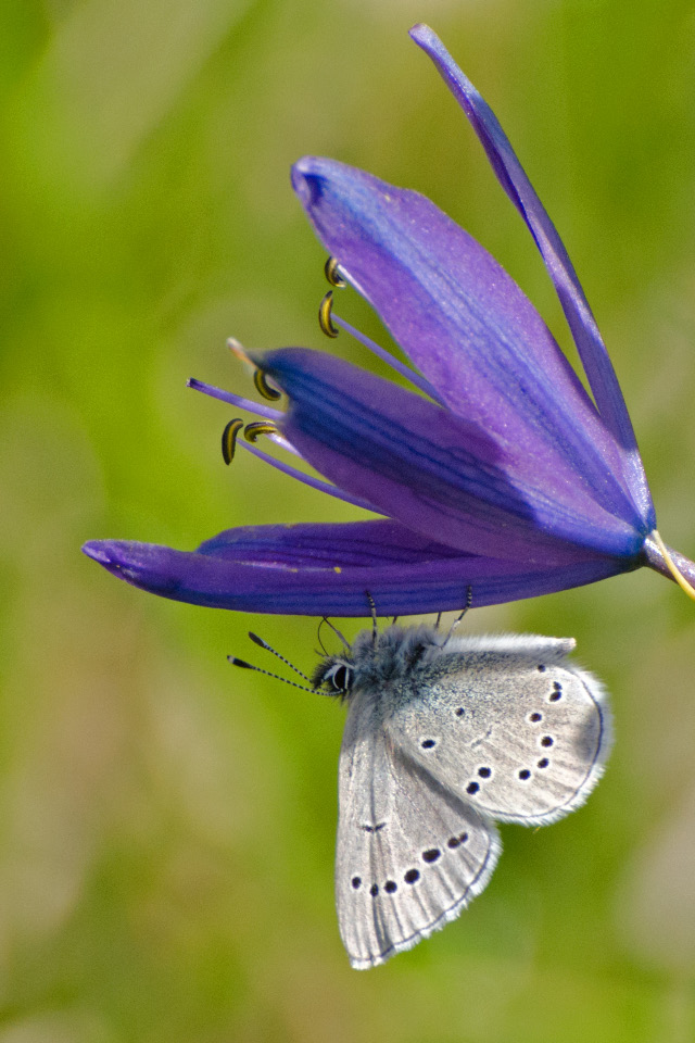 Silvery-blue Butterfly on a Camas Lily