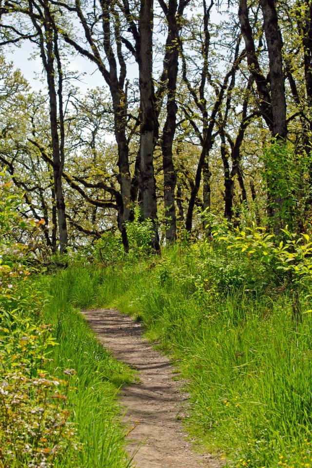 Trail leading through the Oregon Oak trees