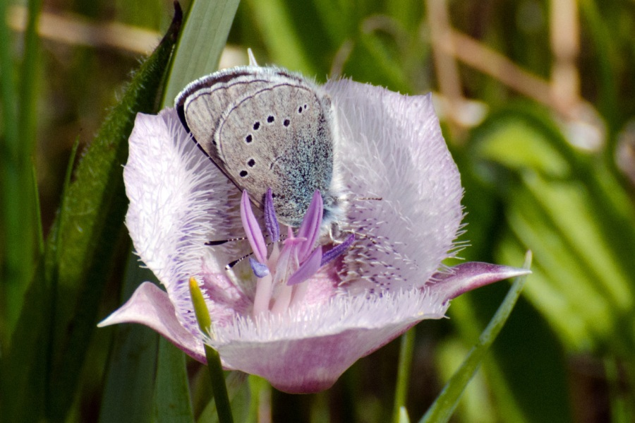 Slivery-blue Butterfly in a Mariposa Lily