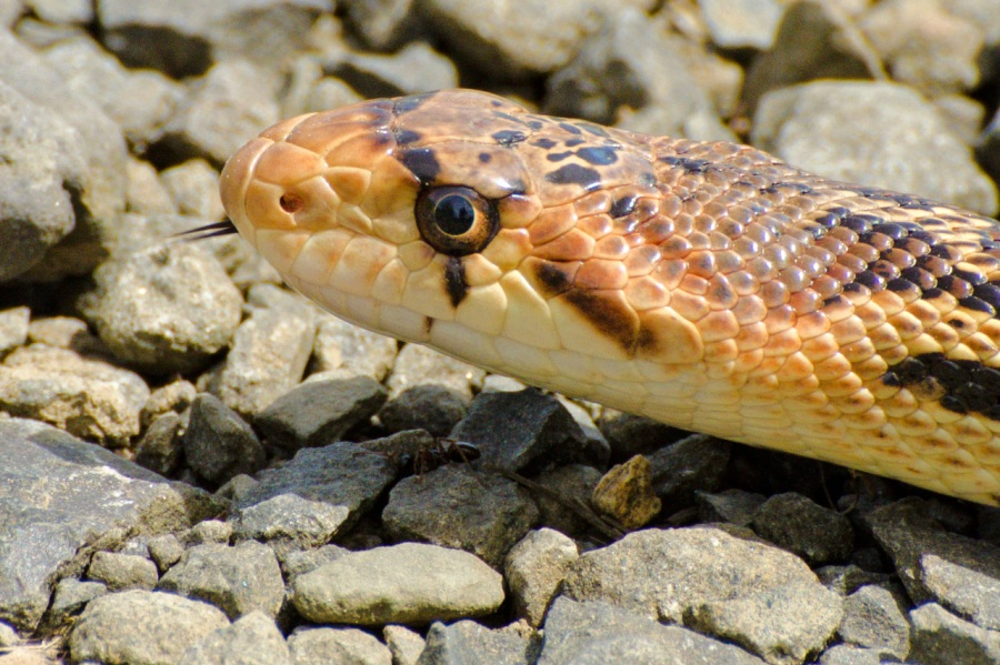 Pacific Gopher Snake with forked tongue