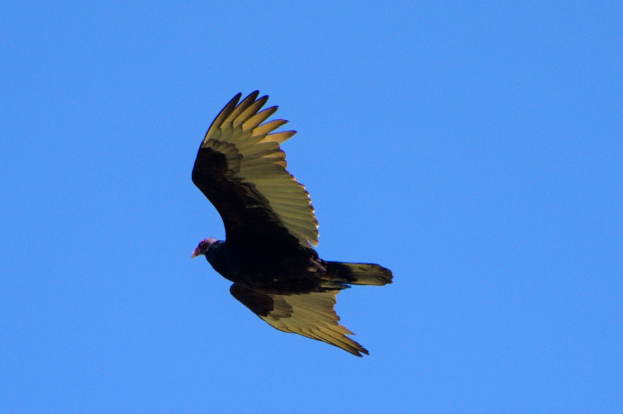 Turkey Vulture looking for a snack