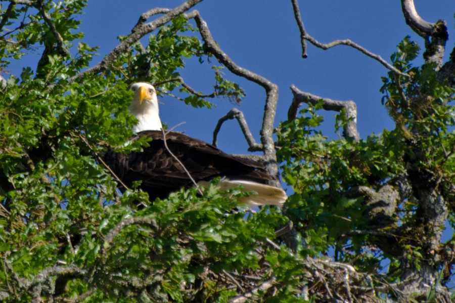 Bald Eagle guarding its nest