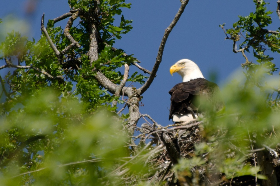 Magnificant Eagle on an Oak Island