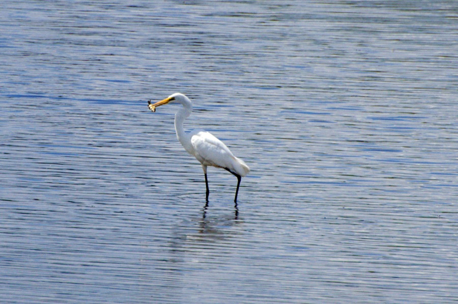 Egret with a snack
