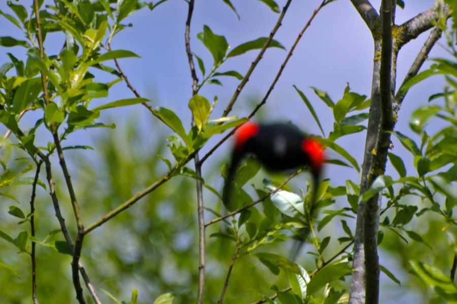 Attack of the Red-winged Blackbird