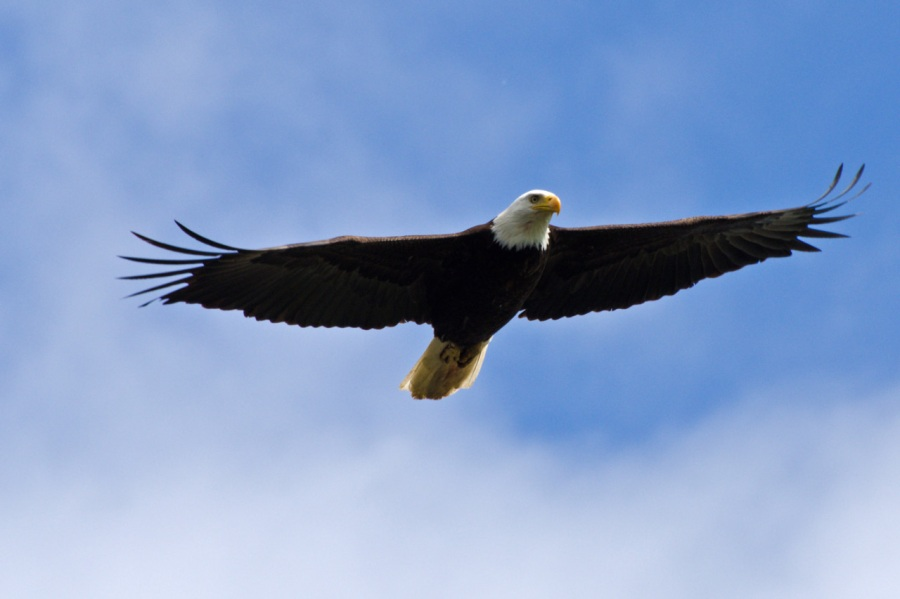 Bald Eagle on the prowl