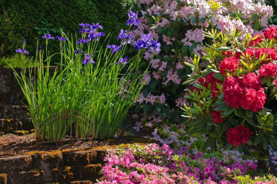 Irises and Rhodies