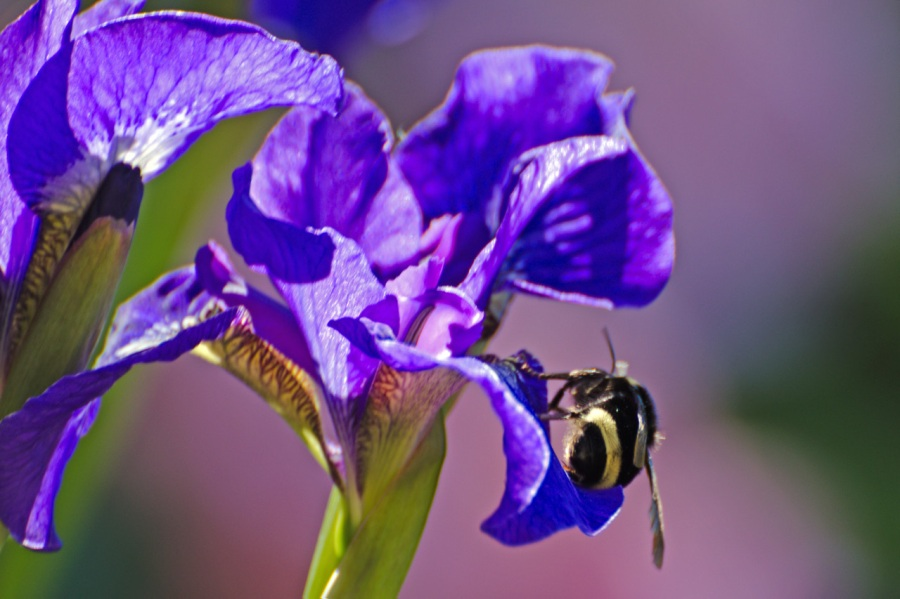 Bee enjoying an Iris