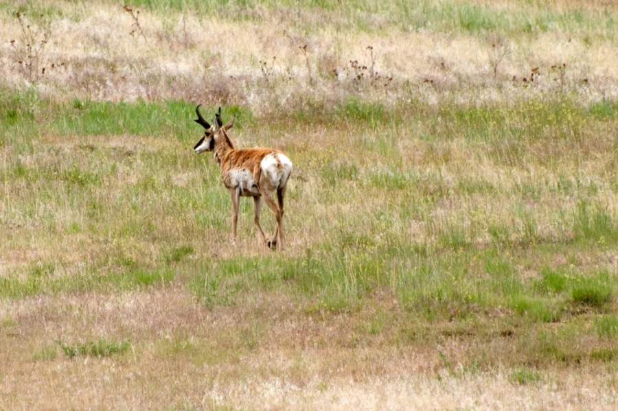 Large Antelope seen on drive to Painted Hills