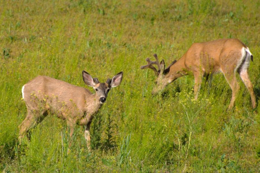 Mule Deer Spike