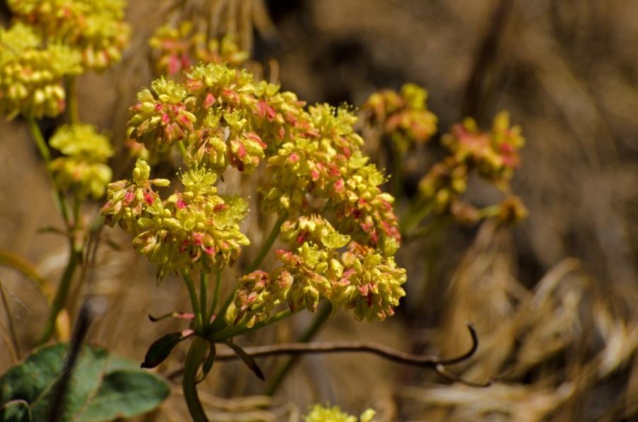 Desert Buckwheat