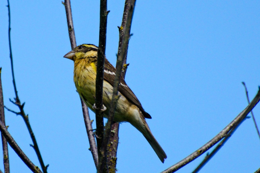 Oak Island Grosbeak