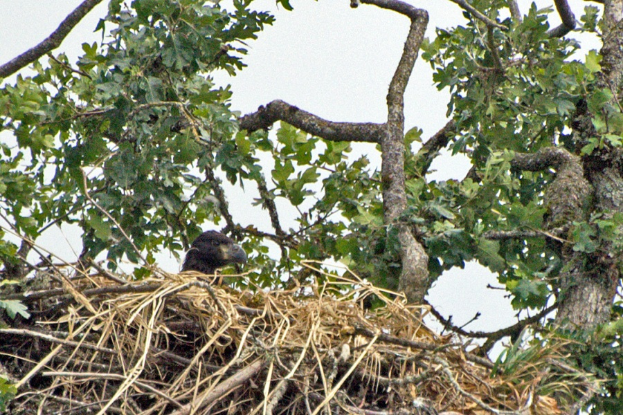 Young Bald Eagle in nest