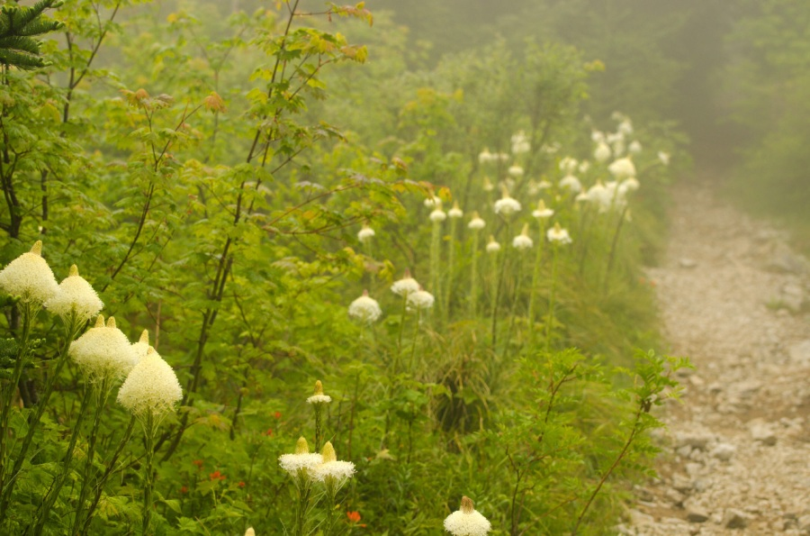 Beargrass along the cloud-covered trail